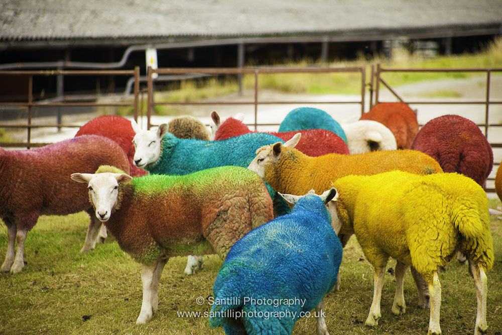 Even the sheep get dressed up for the celebrations.